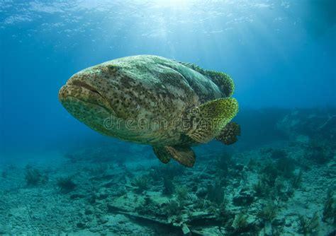 goliath grouper barsch leuchte garoupa luz het indicatore luminoso kolos tandbaars licht pastei pino chiave tasto cervi sul grande stockfoto