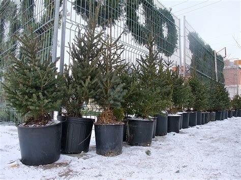 y green trees with roots 10 reasons to buy a potted christmas tree