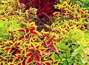 Make Shade Gardens Shine With Colorful Coleus