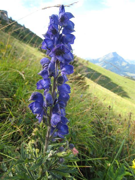 blauer eisenhut aconitum napellus die pflanzenwelt der