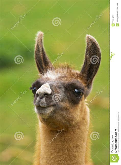 Funny Lama Stock Photography - Image: 7741372