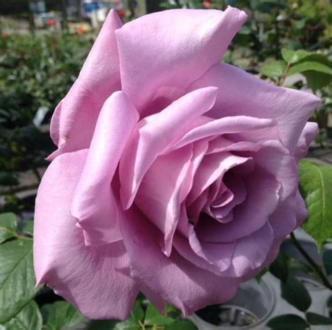when to plant roses when to plant climbing roses for a stronger growing rose pyracantha co uk