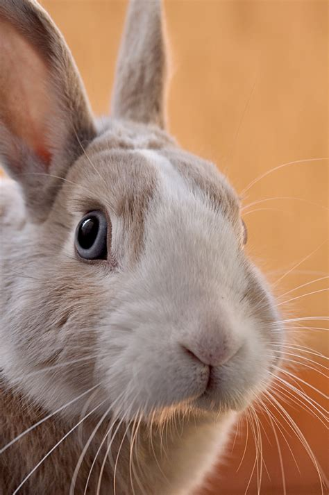 closeup photo  gray rabbit photo  animal image