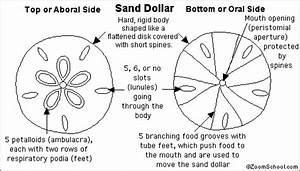 Echinoderms Diagram