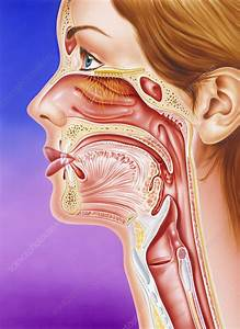 Nose  Mouth And Throat - Stock Image - P496  0019