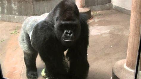 gorilla growling youtube