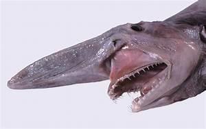 Goblin Shark - Shark Facts and Information