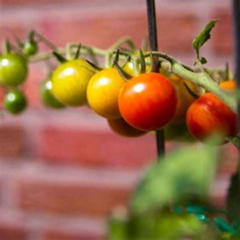 Garten Rat Pflanzen Vor Schuetzen by Tomaten Pflanzen Reiche Ernte Aus Dem Eigenen Garten