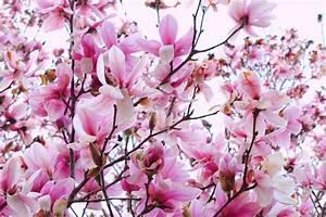 Magnolia Wallpapers