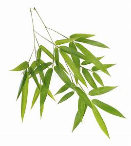 Green Bamboo Leaves On White Background Stock Image ...