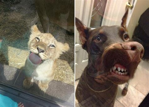 licking animals windows laugh funny glass animal special adorably these smile obsession pleated jeans trendzified