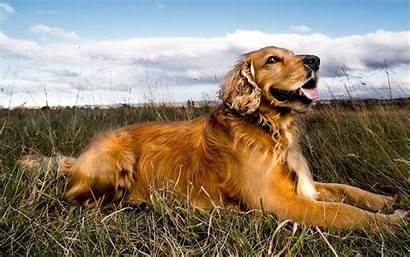 Retriever Golden Dog Temperament Exercise Inspirationseek