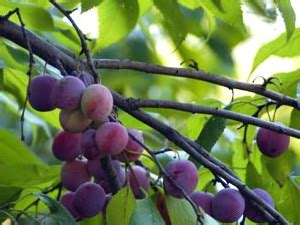 plum tree baby what s new secret seed society