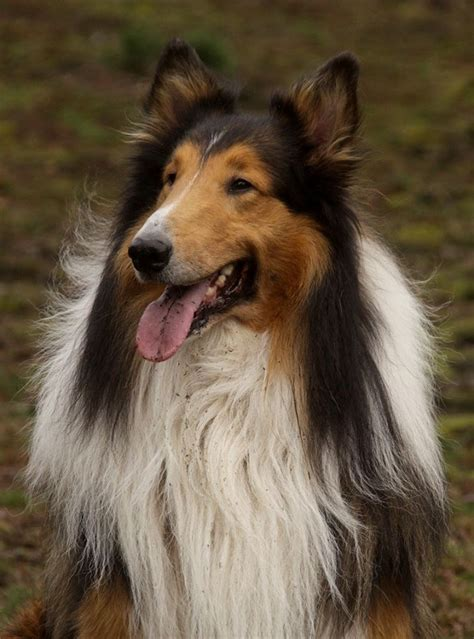 Shetland Sheepdog Shedding Season by 1000 Images About Collies Shelties On Sheep