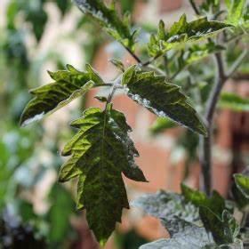 Tomaten Blätter Gelb : deaflora tomate antho gelb samen ~ Frokenaadalensverden.com Haus und Dekorationen