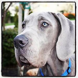 1799 best images about Great Danes on Pinterest ...