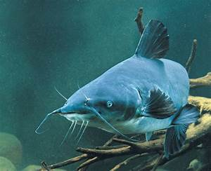 Winter Blue Catfish - In-Fisherman