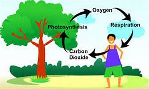 The Carbon  Oxygen Cycle