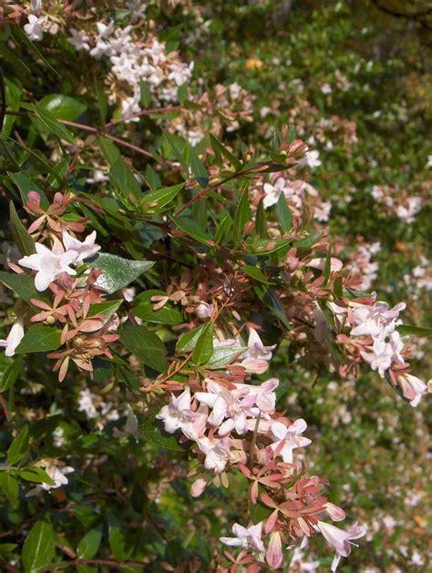Abelia × Grandiflora  Springsummerflowering Shrubs