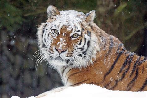 Free Images Snow Cold Winter Zoo Predator Fauna