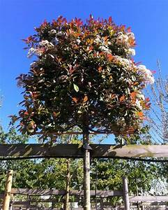 Red Robin Baum : tree option 2 photinia 39 red robin 39 pleached half standard tree outside spaces photinia red ~ Frokenaadalensverden.com Haus und Dekorationen