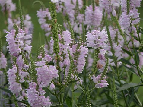 obedient plant growing obedient plant or false dragonhead