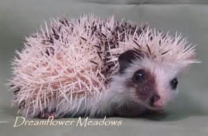 Grey Pinto Hedgehog