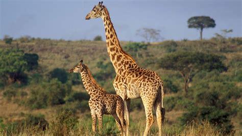 serengeti nationalpark tierrekorde serengeti