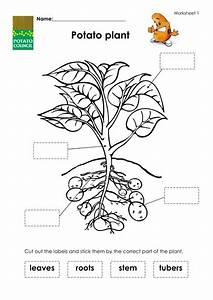 Potato Plant And How It Grows By Potcoun