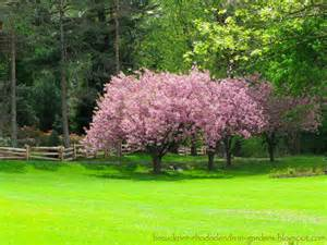 Japanese Cherry Maple Tree