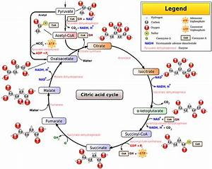 The Tca Cycle - Steps