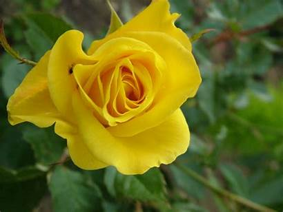 Yellow Rose Roses Wallpapers Flowers Charming Clipart