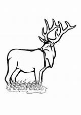 Deer Coloring Pages Clipartmag Enjoyable Leisure Totally Activity sketch template