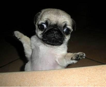Pug Puppy Dogs Derp Wallpapersafari