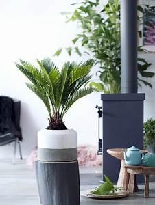 Palmenarten Für Draußen : sagopalmfarn pflanzenfreude ~ Michelbontemps.com Haus und Dekorationen