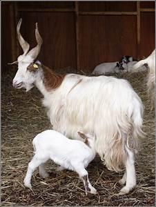 Eine Girgentana-Ziege (Capra hircus f. hircus) säugt ihr ...