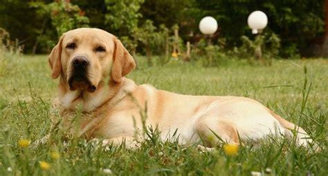 dog food  labs labrador retrievers top  reviews