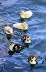 Happy Easter Baby Ducks