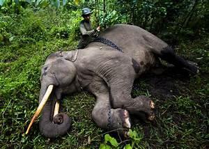 Characteristics - Sumatran Elephants At Risk