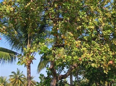 jeux cuisine jeux de fille l 39 anacardier l 39 arbre aux noix de cajou