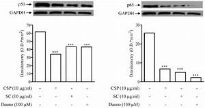 Effect Of Sc And Csp On P50 And P65 Nuclear Translocation