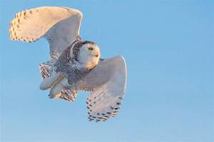 Flying with Snowy Owls | Christopher Martin Photography