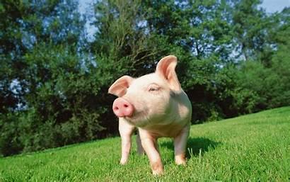 Pig Desktop Backgrounds 4k Wallpapers Background Grass