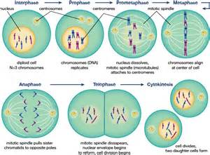 Mitosis Cell Cycle Stages