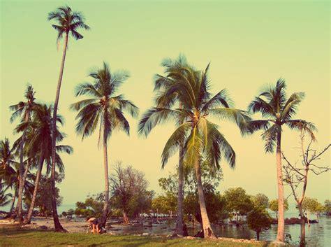 coconut palm trees free stock photos libreshot