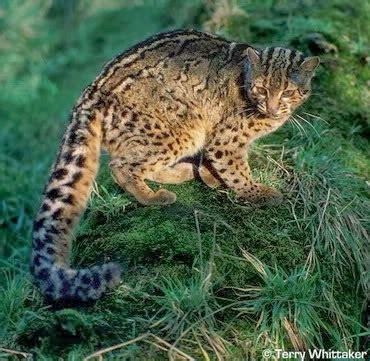 สัตว์ป่าสงวน: แมวลายหินอ่อน