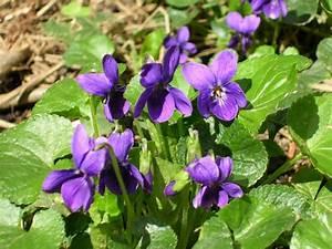 Fleur D Hiver Pour Jardinière : fleur d hiver a planter pivoine etc ~ Dailycaller-alerts.com Idées de Décoration