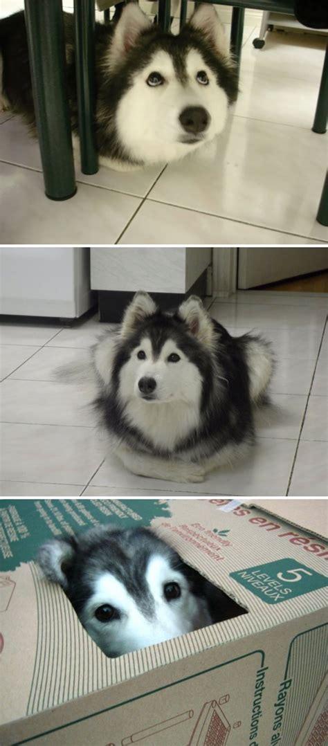 funny husky   prove    weirdest