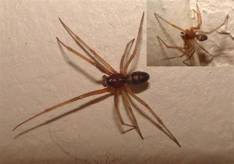 insecte de cuisine steatoda grossa araignée de cuisine ou de garage le