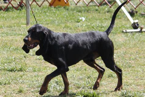 black  tan coonhound breed information black  tan